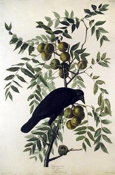 John James Audubon - American Crow (Plate CLVI)