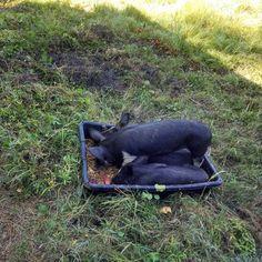 Eight week old Berkshire pigs