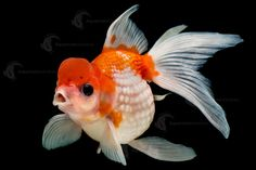 The Crown Pearlscale. This fish is so beautiful. Often hard to source, this stunning Goldfish has a rounded body and soft, domed scales, along with an Oranda type head growth which sits high on the head. #AquariumIndustries #Orange #FreshwaterFish #Aquariums