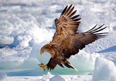 Japanese Tattoo Art, Japanese Painting, Rabe Tattoo, Largest Bird Of Prey, White Tailed Eagle, Eagle Images, Eagle Painting, Eagle Art, Eagle Tattoos