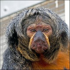 Saki Monkey | Pale Headed Saki Monkey (Female)