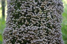 Hundreds of umbrella mushrooms growing in Tree Bark.  Via https://www.facebook.com/photo.php?fbid=248035362000966=a.157248837746286.34307.157246037746566=1_count=1