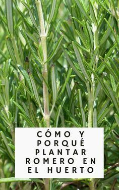Rosemary is not only an amazing addition to our food, but also have baffling health benefits! Check how to grow Rosemary and why you should! Plants, Beautiful Gardens, Orchard Garden, Organic Gardening, Garden Plants, Growing Rosemary, Herbs, Growing Herbs, Urban Garden