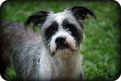 Grand Bay, AL - Shih Tzu Mix. Meet Andy, a dog for adoption. http://www.adoptapet.com/pet/10982820-grand-bay-alabama-shih-tzu-mix