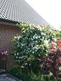 05: Cornus kousa var. chinensis / Chinesischer Blumen-Hartriegel – wunderschöne weiße Hochblätter, die im Herbst leuchtend rot werden