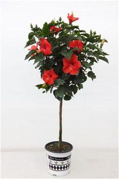 Hibiscus Rosa Sinensis (Patio Tree)