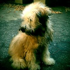 5 mo old Maggie - Wheaten Terrier