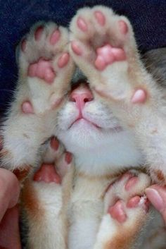 15 Cats That Love Showing Off Their Jelly Beans! - We Love Cats and Kittens