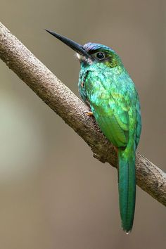 White-chinned Jacamar by Juan Jose Arango