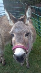 Dolly and Riley-Minis is an adoptable Donkey Donkey in Dimondale, MI. Dolly and Riley are 2 adorable miniature donkeys that are mother and son. Dolly is 14 years old and Riley is 7. Riley is lost with...