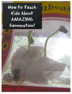 Helping kids understand what's happening under the ground when a seed grows is tough, here's a great way to do it!