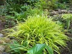 Name that ornamental grass! Anyone know?  hakonechloa macra, probably 'aureola'