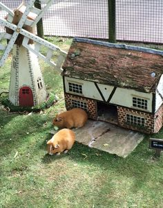Why You Shouldn't Purchase A Guinea Pig At A Pet Store. Guinea Pig Hutch, Guinea Pig House, Baby Guinea Pigs, Guinea Pig Care, Pet Pigs, Zoo Animals, Cute Animals, Nature Animals, Guinnea Pig