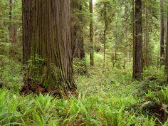 File:Redwoods Jedediah Smith Redwoods State Park 2.jpg