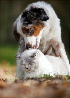 Australian Shepherd Dog washing Cat - Unlikely Friendships Animals And Pets, Baby Animals, Funny Animals, Cute Animals, Cat Love, I Love Dogs, Cute Puppies, Dogs And Puppies, Doggies