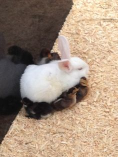 Baby chicks huddling against a bunny for warmth - Imgur
