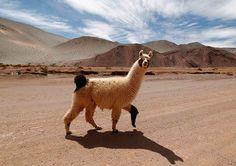 Week in Wildlife: A llama crosses a road near the salt flat Tolillar in Salta Province via the Guardian