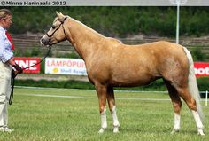 Welsh Pony (section B) - mare Silent's Stralight Blond