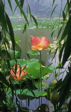 Lotus Flower & willow