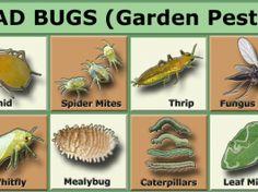 Insecticide bio sau ecologice pentru gradina – scapa de daunatori folosind solutii naturale