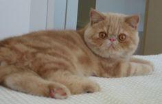 Exotic (kattenras) - Wikipedia
