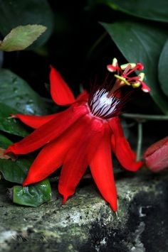 """Glowing Red,"" by Wild-Soul via deviantART -- Passionflower, likely Passiflora vitifolia."