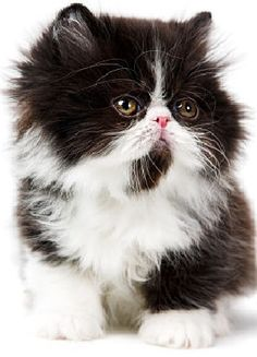Persian Cat - Head very large, round; flat, straight between ears. Nose short, sometimes snubbed. Cheeks full w/broad full jaw, firm chin. Ears small, round tip, wide-set. Eyes large round. Body large broad round, level. Short legs. Thick neck. Coat long, fluffy, off body; tail plume; ruff britches, neck; glossy, soft. Big bones. Sweet, patient, lap cat.