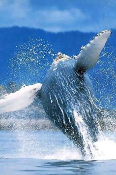 """""""Dominican Republic Miniature Continent"""" Humpback Whales in Samana Peninsula Whale Pictures, Life Pictures, Samana, Ecuador, Whale Watching Tours, Gray Whale, Fin Whale, Excursion, Humpback Whale"""