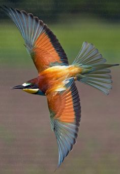 EUROPEAN BEE EATERS....live in open country in southern Europe, north Africa and western Asia....winter in tropical Africa....measure 10.6 - 11.4inches long, including the two elongated central tail feathers....can eat around 250 bees a day....before eating its meal it removes the stinger by hitting and rubbing the insect on a hard surface to extract most of the venom