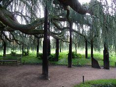 Cèdre bleu pleureur, Parc de la Vallée-aux-Loups en automne, Hauts-de-Seine