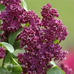 Lilac 'Royal Purple'