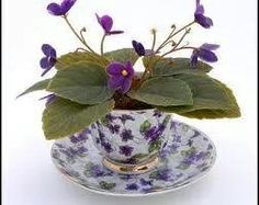 African violet in china teacup, perfect for a tea table