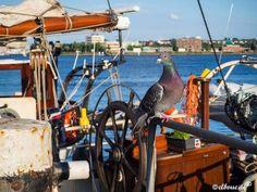 Heute habe ich eine #maritime #Stadttaube für euch :-) von gestern auf der #KielerWoche. Sie saß erst am Boden des Schiffes und als sie gesehen hat, dass ich sie fotografiere, ist sie auf den Zaun...