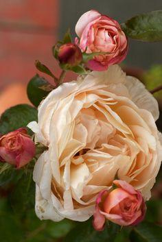 robertmealing:  Tamora - English Rose  i love these rose photographs