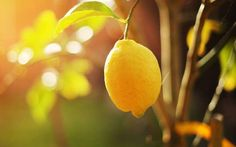 Photo about Ripe lemon hangs on tree branch in sunshine. Image of bright, nature, agriculture - 18202459 Limoncello Cocktails, Permaculture, Lemon Health Benefits, Agriculture Biologique, Cancer Cure, Cocktail Making, Spa Gifts, Detox Recipes, Detox Foods