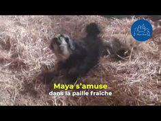 NosRefuges / Maya joue dans la paille fraîche ! - YouTube Fondation Brigitte Bardot, Jouer, Maya, Strawberry Fruit, Maya Civilization