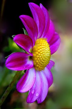 ~~Collarette Dahlia by Robert,s~~