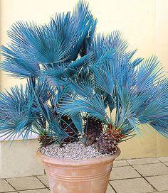 winterharte blaue palme
