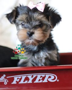 Available Micro Teacup Yorkies* Toy Yorkie Puppies* Yorkie Terrier Puppies *Parti Yorkie Puppies *Chocolate Yorkie Puppies *Merle Yorkie Puppies *Socal Yorkie Teacup Puppies Pomeranian Puppies For Free, Yorkie Puppy For Sale, Yorkie Puppies, Yorkshire Terrier Puppies, Toy Puppies, Dogs And Puppies, Yorkies, Yorkie Breeders, Toy Yorkie