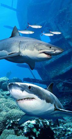 Shark Endanger Beach Towel