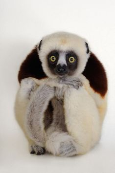 Sifaka :) a special type of lemur! And like all lemurs, they are only found in Madagascar!