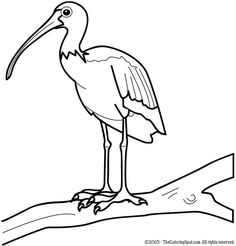 840 Top Ibis Bird Coloring Pages Pictures