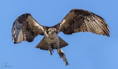 """Finally an Osprey flew in my direction with a fish!"""
