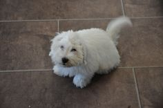Our coton de tuléar puppy.