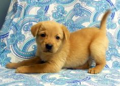 "Uno is an adoptable Golden Retriever Dog in Niles, IL. The ""Game"" litter is about 8 weeks old. They are as smart as they are beautiful!! These babies are very well-rounded puppies that would make a gr..."