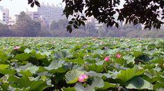 7月中旬 上野不忍の池