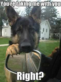 Wicked Training Your German Shepherd Dog Ideas. Mind Blowing Training Your German Shepherd Dog Ideas. Funny Animal Memes, Dog Memes, Cute Funny Animals, Funny Animal Pictures, Funny Dogs, Cute Dogs, Funny Memes, Funny Dog Sayings, Truck Memes