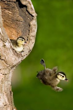 Wood duck ducklings plunging from their nest cavity in a tree. This is normal behavior for wood ducks when leaving the nest cavity which can be anywhere between 6 to 15 feet above ground and almost always above water into which they fall. Photo Credit: Mike Lentz Images Youtube: filmpje 'Duck falling tree' kijken.