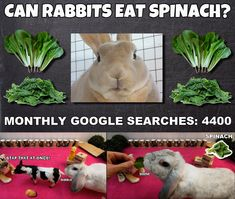 Can rabbits eat spinach? Rabbit Diet, Rabbit Eating, Rabbit Food, Meals For One, Rabbits, Spinach, Bunny, Canning, Animal