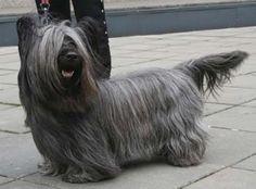 Skye Terrier, Terriers, Terrier Dog Breeds, Terrier Puppies, Rare Dogs, Rare Dog Breeds, Small Dog Breeds, Small Dogs, Small Breed